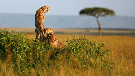 A cheetah and her cubs observe the plains in Masai Mara game reserve, April 26, 2008. Picture taken April 26, 2008